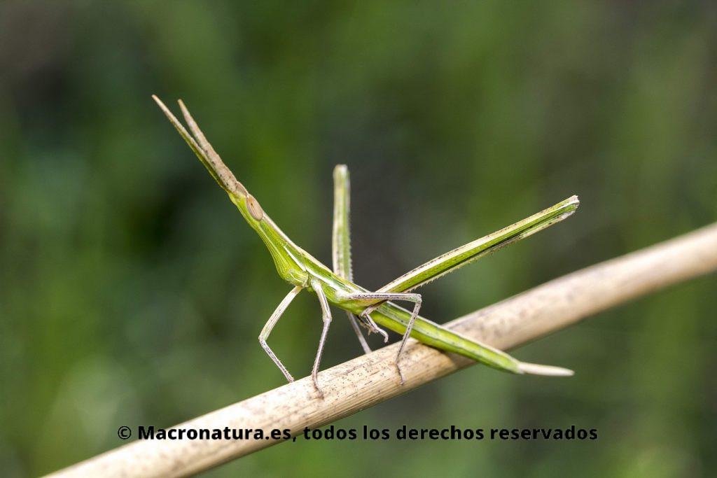 Un saltamontes narigudo de color verde sobre un tallo de junco.
