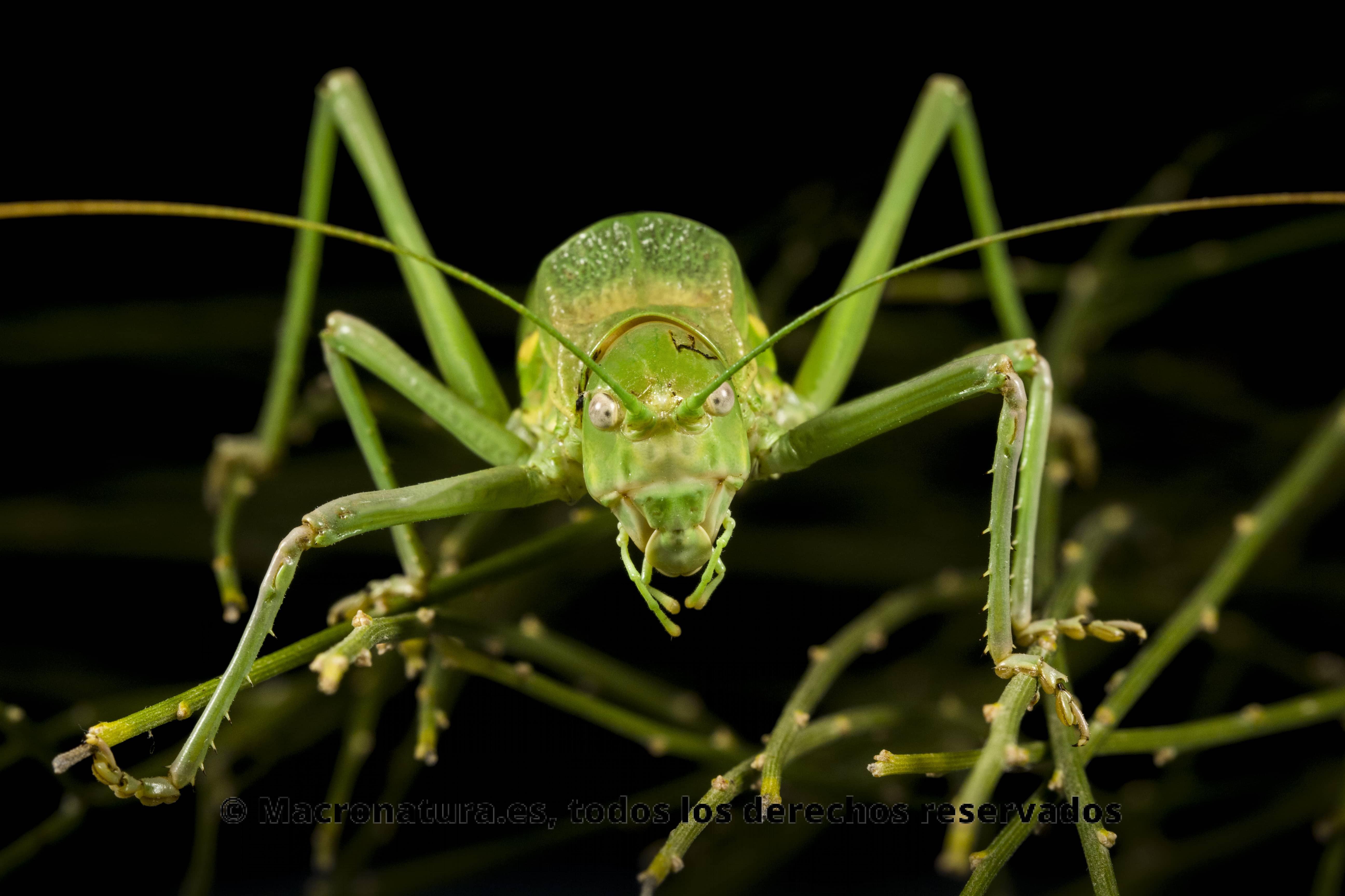El insecto que muestra la imagen es una chicharra alicorta. Se posicione mirando a la camara con las patas y antenas extendidas. Además se posa sobre una vegetación con púas muy parecida a sus patas. El fondo es negro.