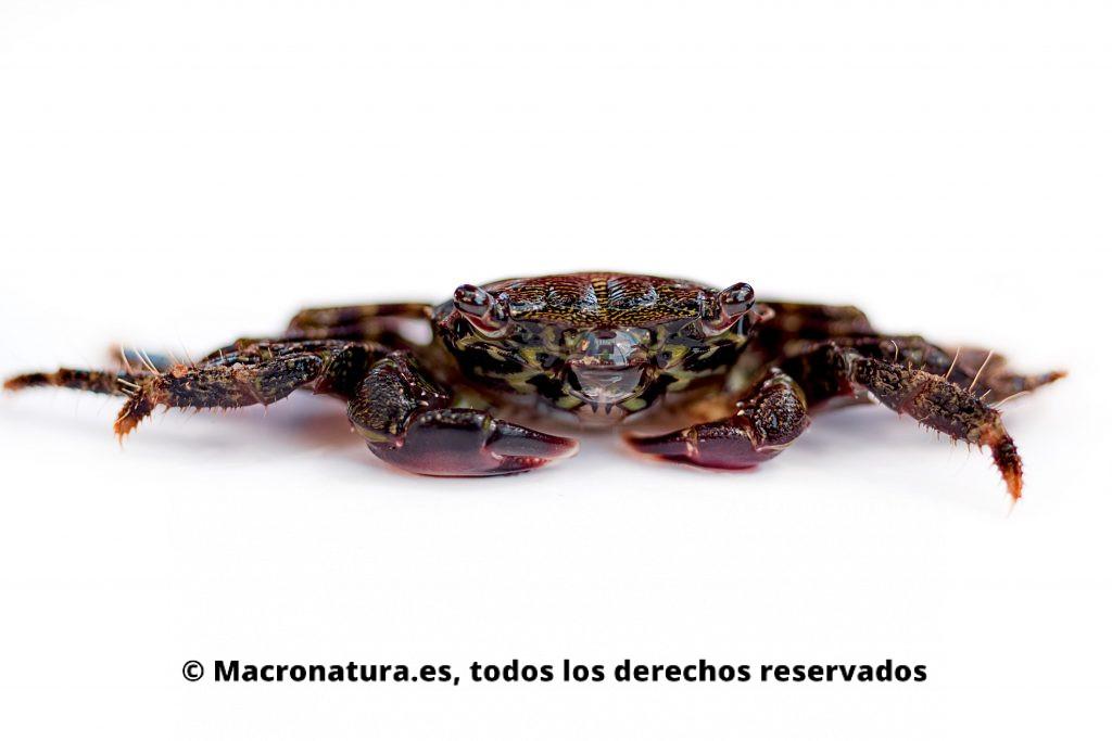 Un cangrejo Pachygrapsus marmoratus