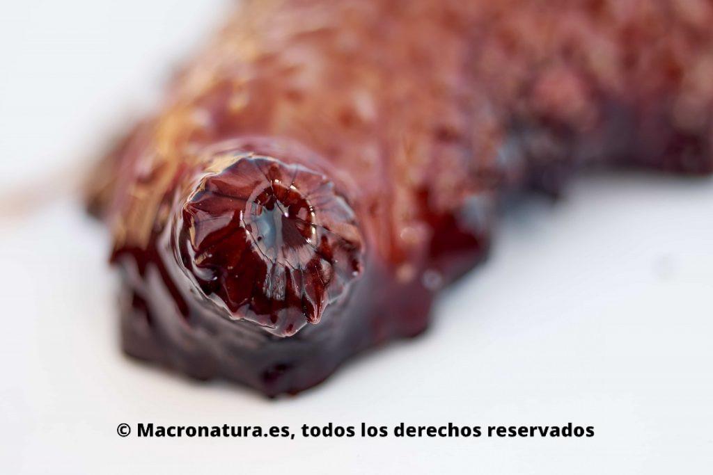 Boca de un pepino de mar . fotografía macro