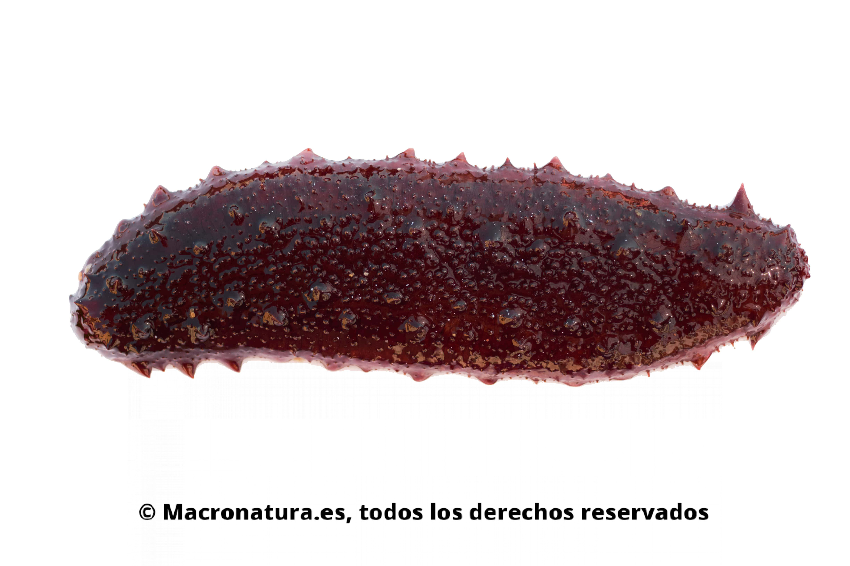 Pepino de mar rojizo sobre un fondo blanco