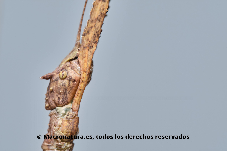 Insecto palo en una posición típica tratando de pasar desapercibido, con las patas delanteras estiradas.