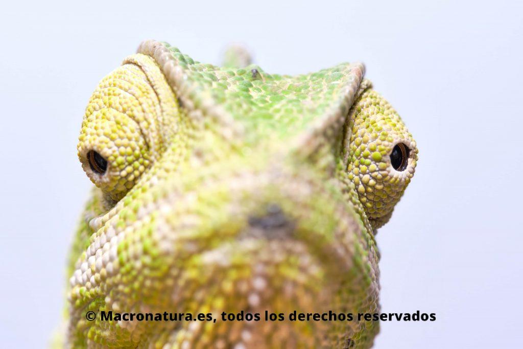 Imagen de un camaleón de frente. Destacan los ojos como enfoque centra