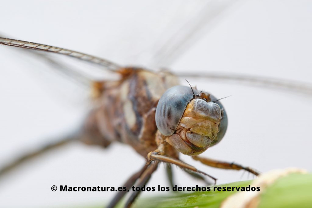 Primer plano de una libélula Selysiothemis nigra