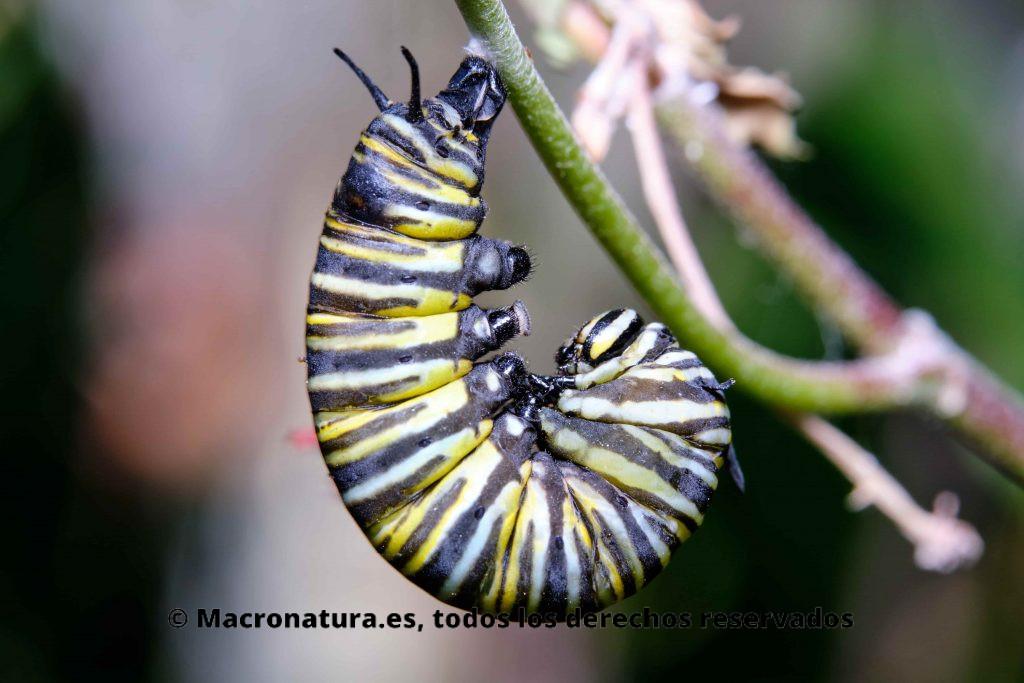 Una oruga de Mariposa Monarca iniciando el proceso para convertirse en Crisálida