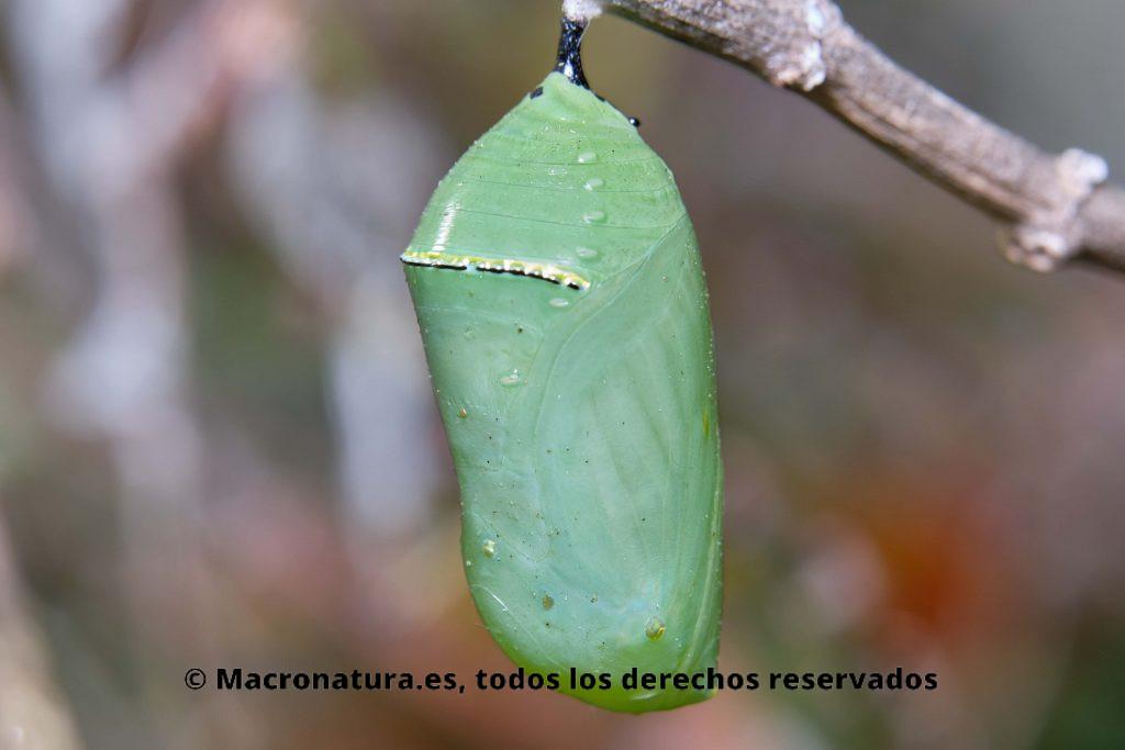 Una crisálida de Mariposa Monarca en fase inicial. Color verdoso.