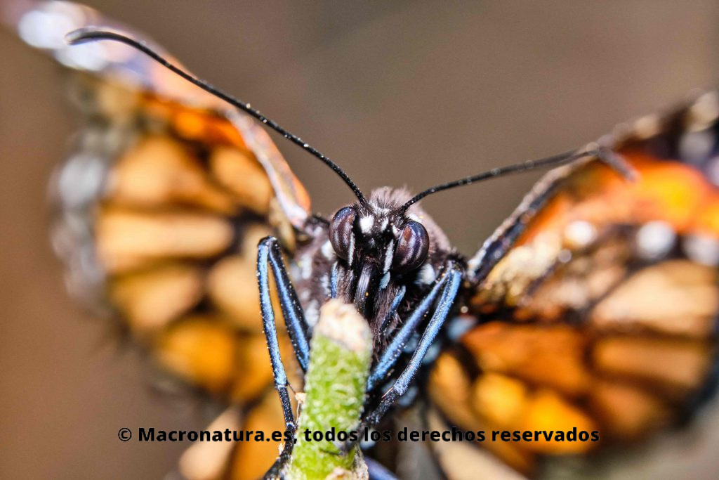 ¿Los insectos duermen? Mariposa monarca reposando sobre un tallo