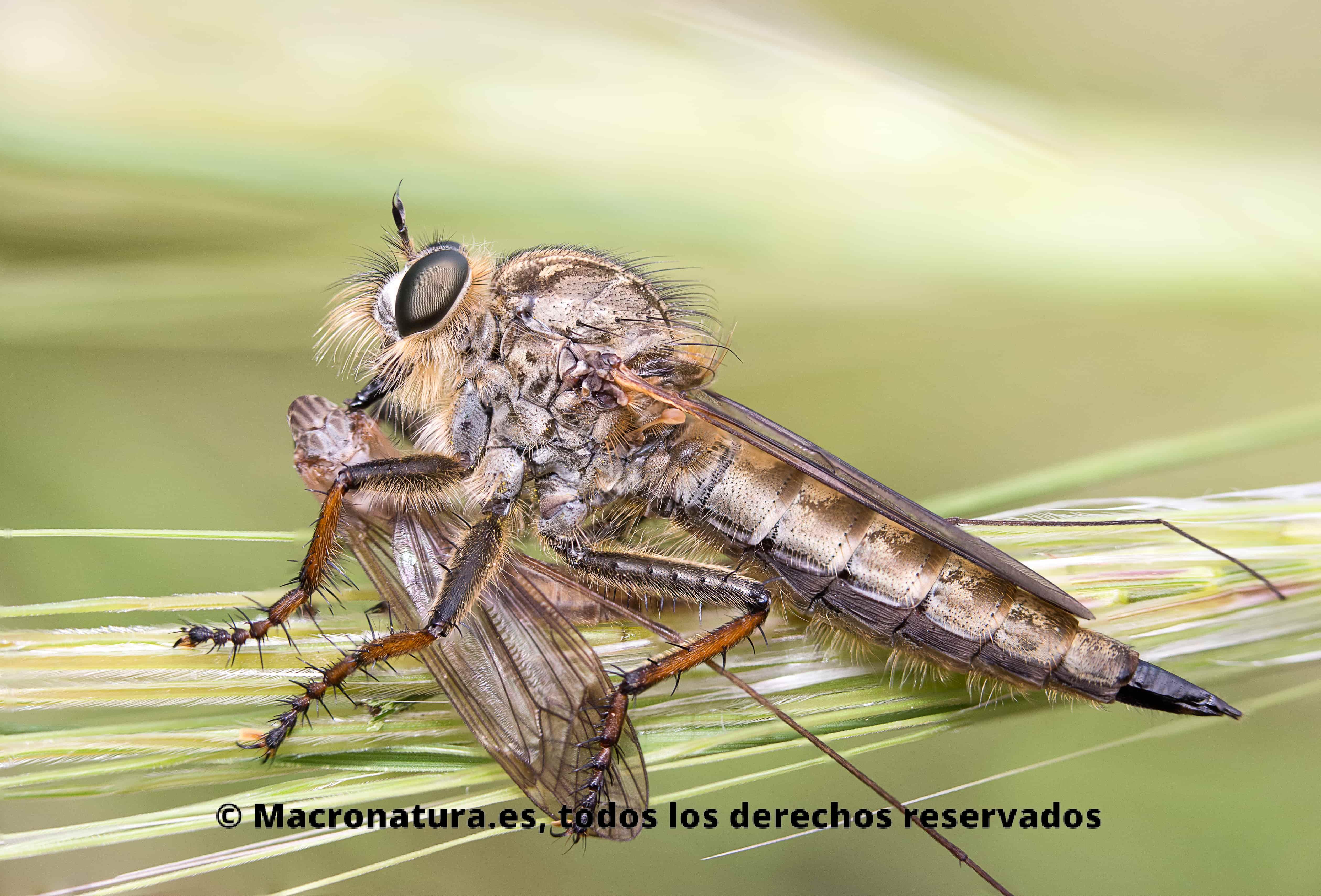 Una mosca salteadora con una presa sobre el tallo de una planta