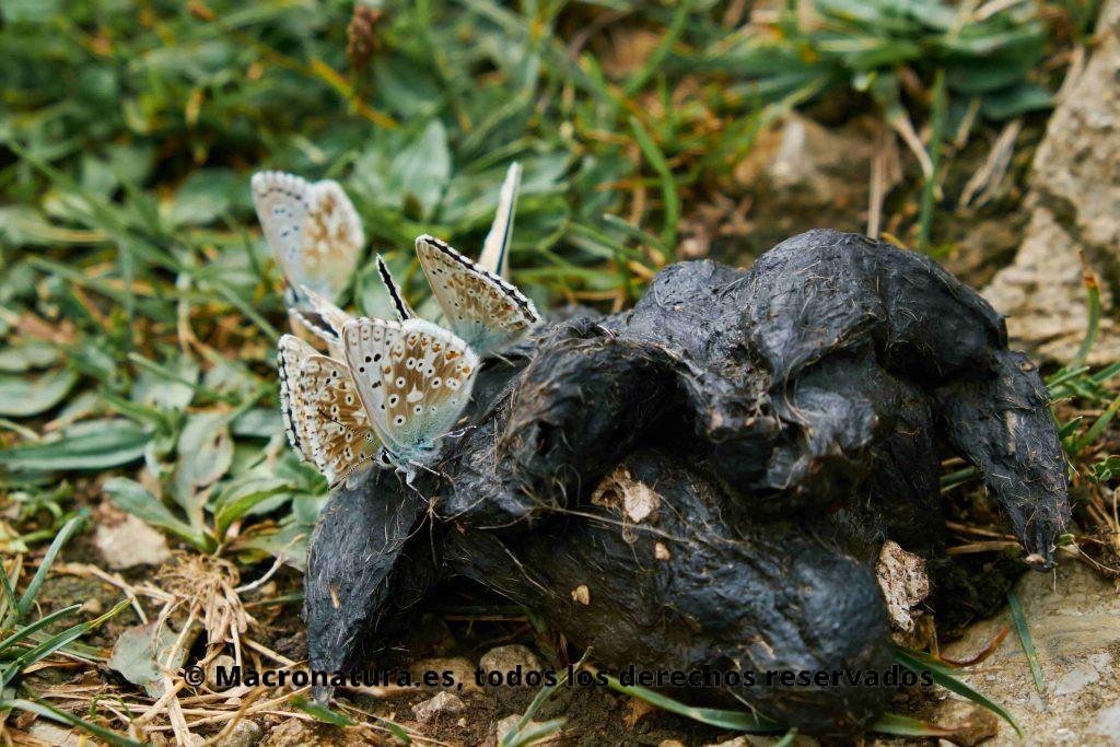 Un grupo de mariposas Lysandra bellargus comiendo excrementos, Mariposa coprófaga