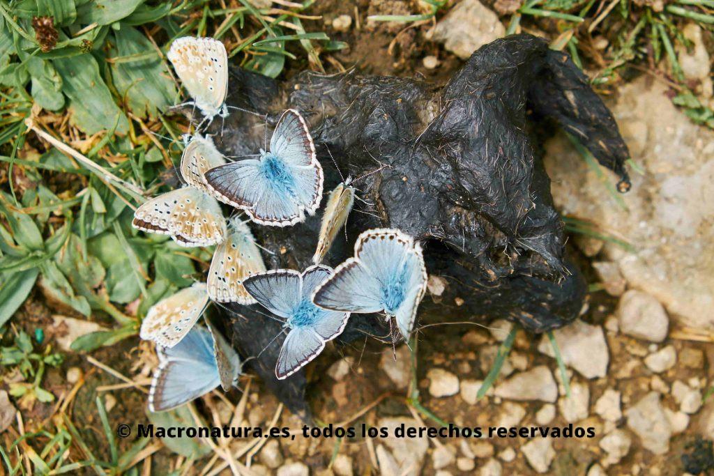 Un grupo de mariposas Polyommattus icarus comiendo excrementos, Mariposa coprófaga