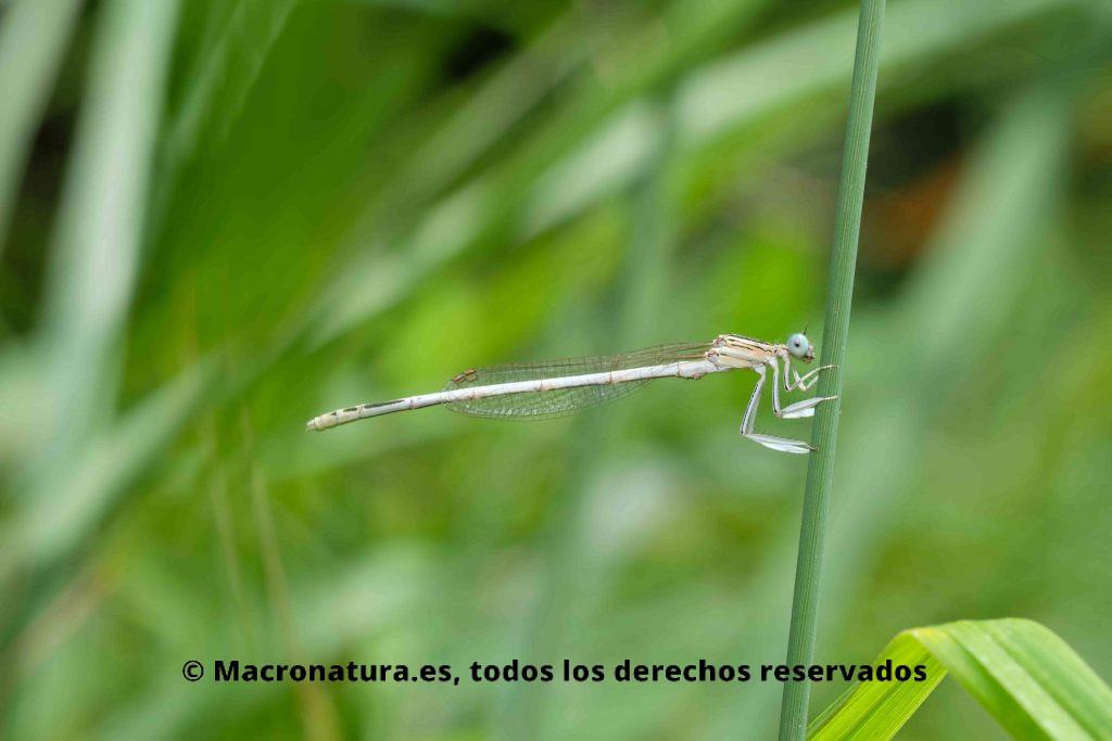 Cuerpo esbelto y delgado de Platycnemis latipes