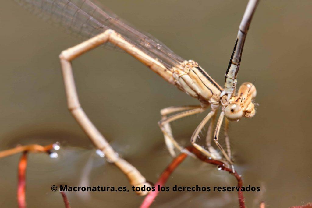 Hembra atrapada por el macho. Cuerpo esbelto y delgado del Caballito del diablo patiblanco Platycnemis latipes