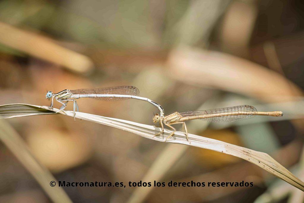 Dos ejemplares de Caballito del diablo patiblanco Platycnemis latipes. Macho a izquierda y hembra derecha.  Atrapada por el macho. Cuerpo esbelto y delgado del Caballito del diablo patiblanco Platycnemis latipes