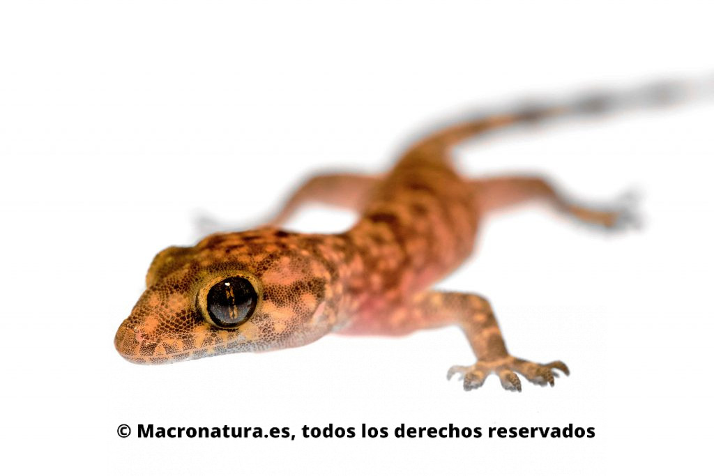 Ejemplar joven de Salamanquesa rosada, Hemidactylus turcicus