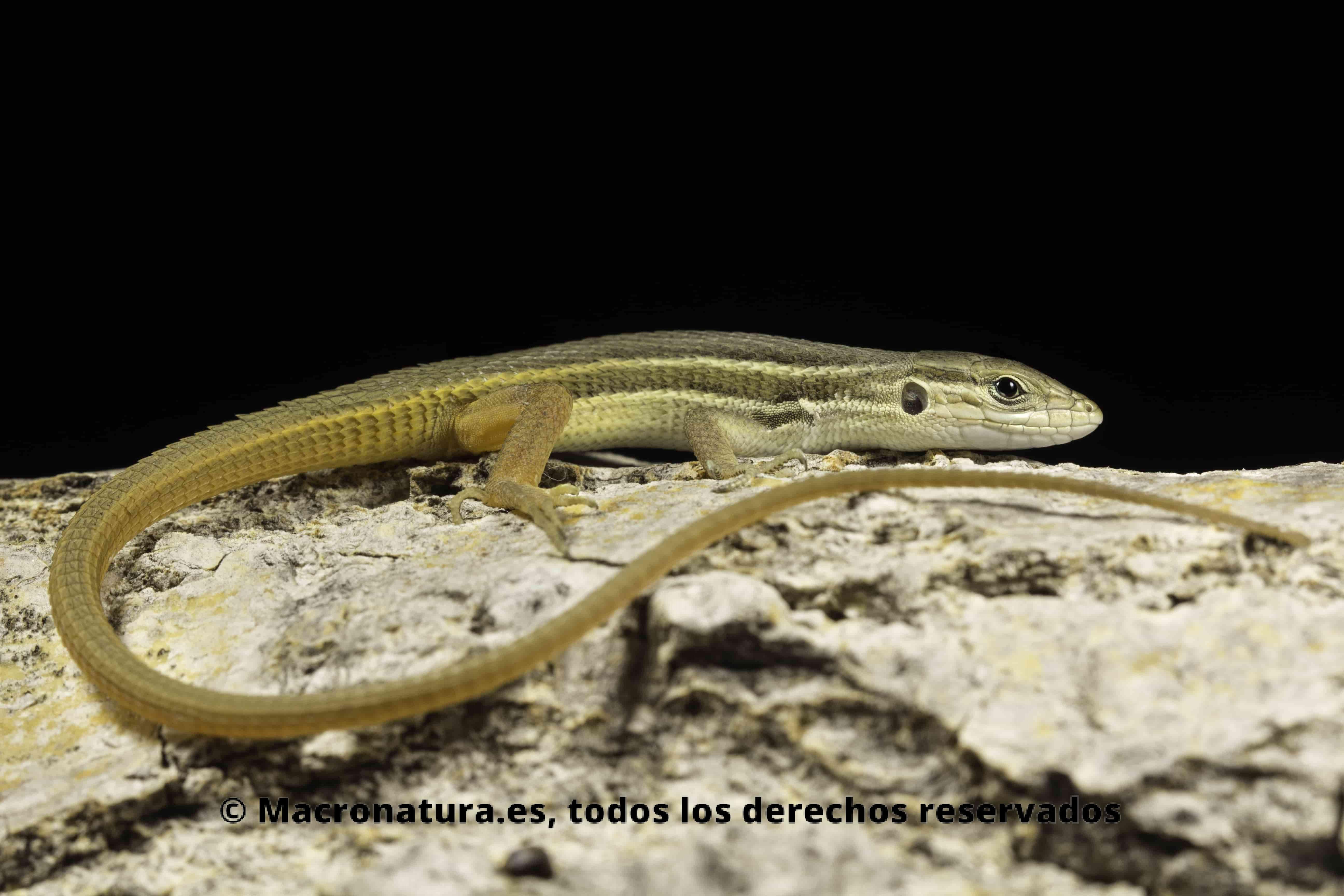 lagartija colilarga (Psammodromus algirus) sobre una piedra en un fondo negro. Se observa todo su cuerpo incluido el rabo