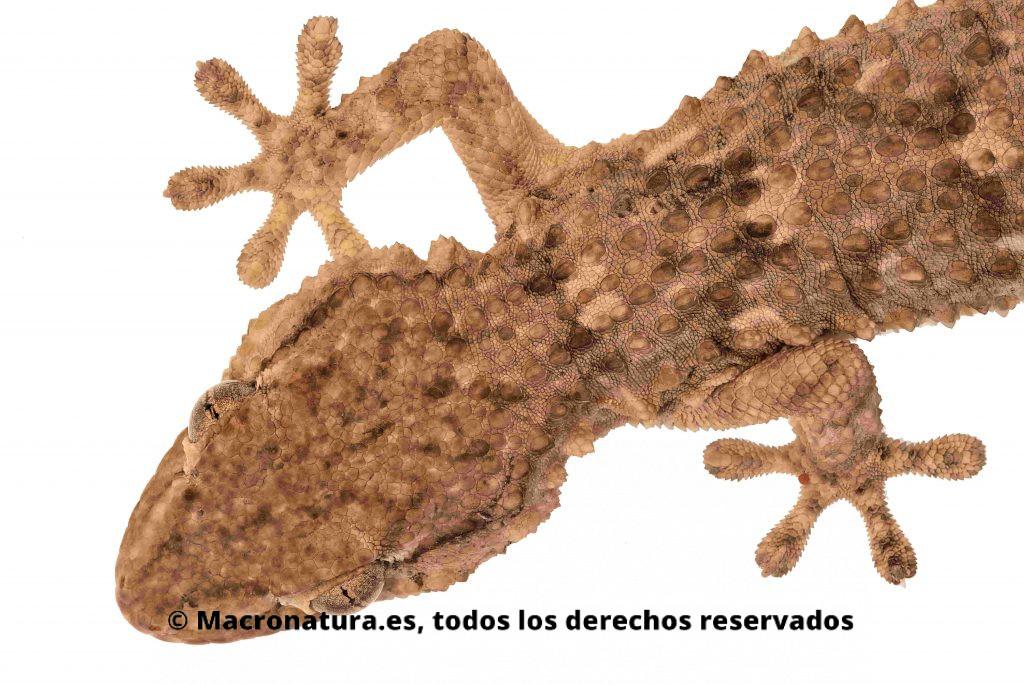 Una salamanquesa Tarentola mauritanica en un fondo blanco. Se aprecia las 4 patas, rabo y cabeza triangular.
