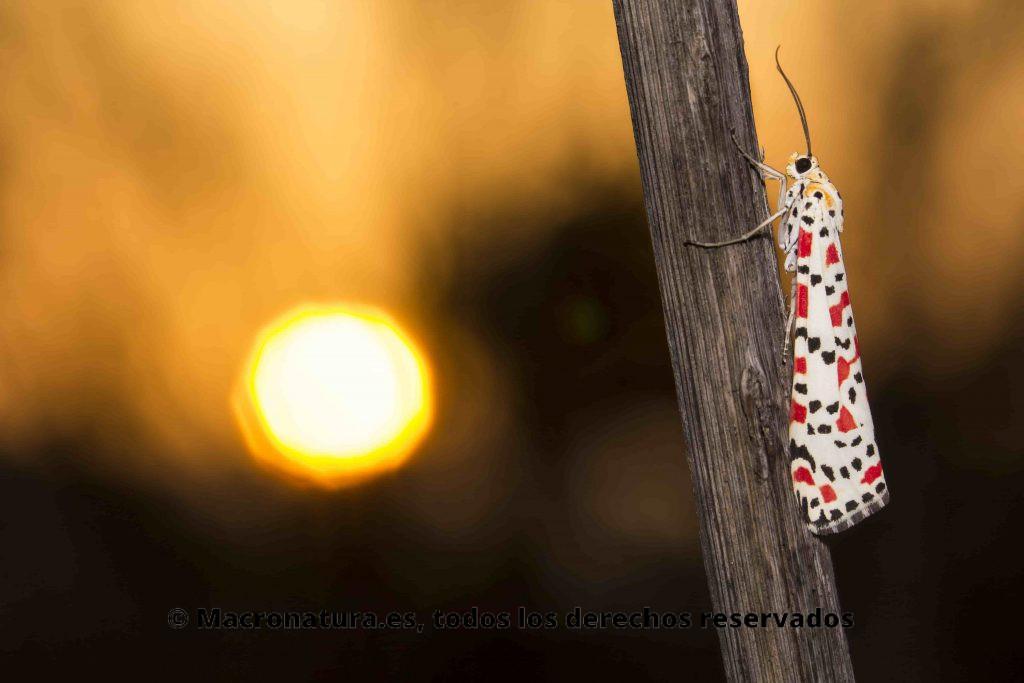 Mariposa UTETHEISA PULCHELL en una rama de una planta. La vista es lateral donde se aprecia sus alas coloridas.en un estupendo atardecer.