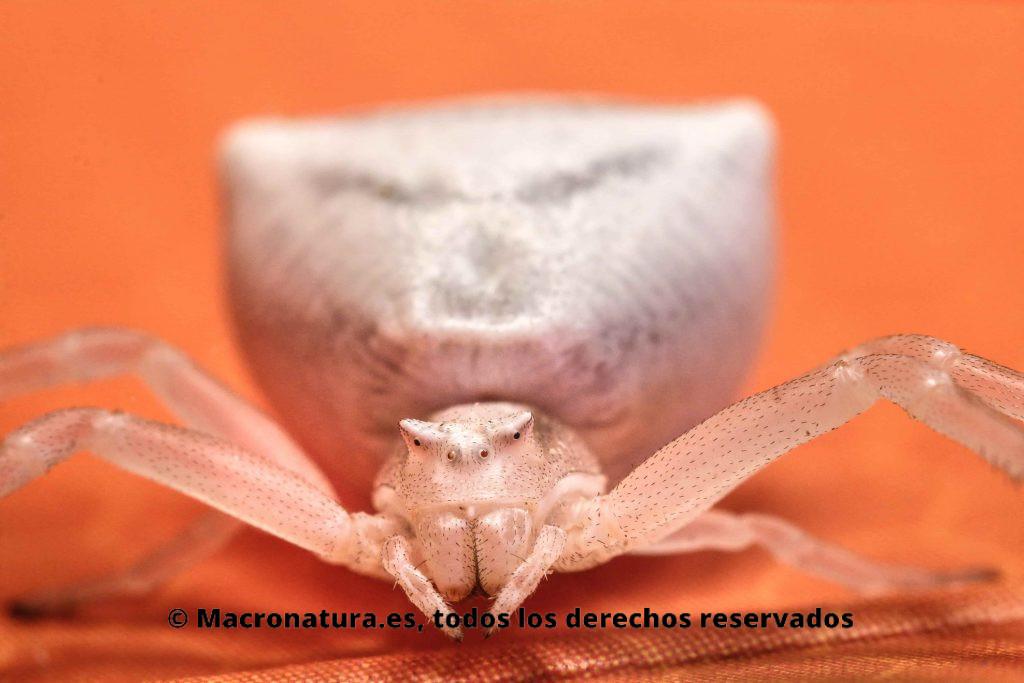 Araña cangrejo blanca. Retrato. Thomisus onustus