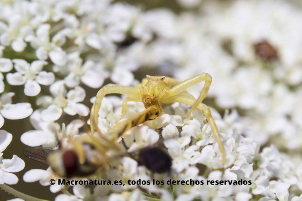 Araña cangrejo en una flor de zanahoria salvaje con un diptero atrapado y succionándolo