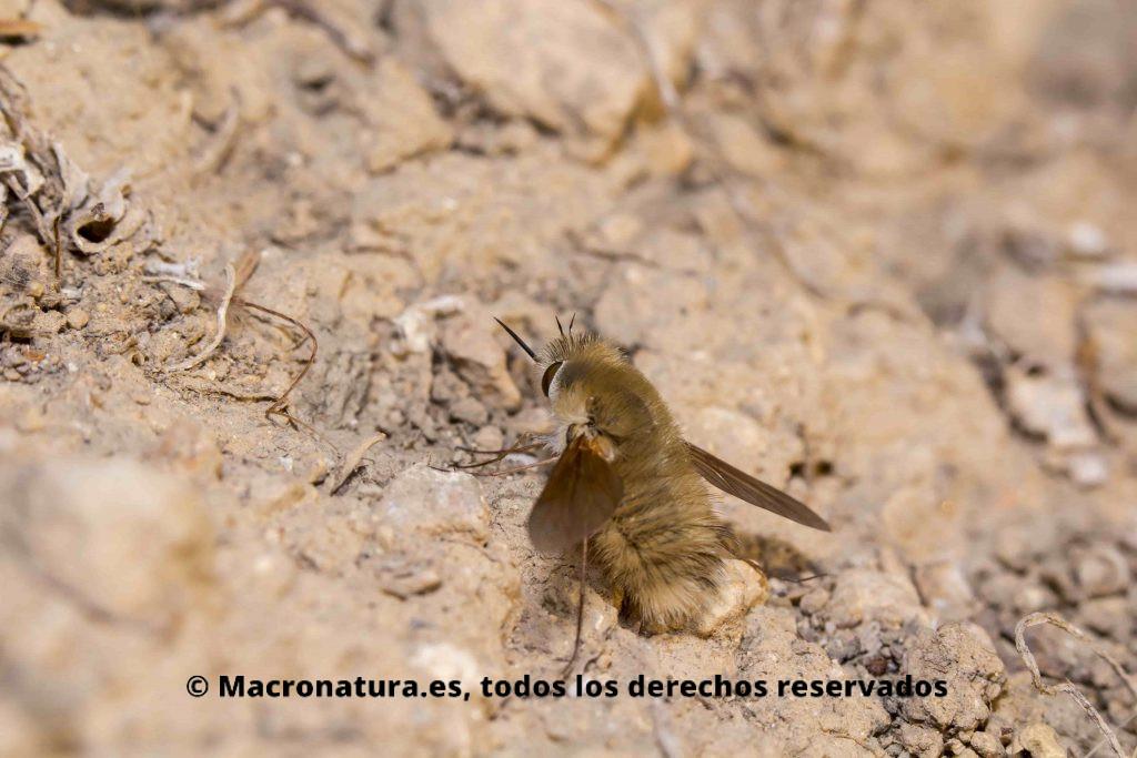 Mosca Abejorro Bombylius Major en el suelo depositando huevos en nido de avispa o abeja