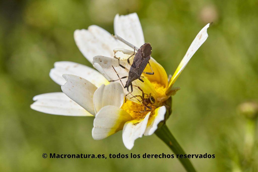 Araña cangrejo en una flor de margarita acechando a un insecto de mayor tamaño