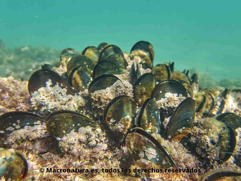 Mejillón en las playas de Málaga. Mejillón de carácter gregario conformando colonias