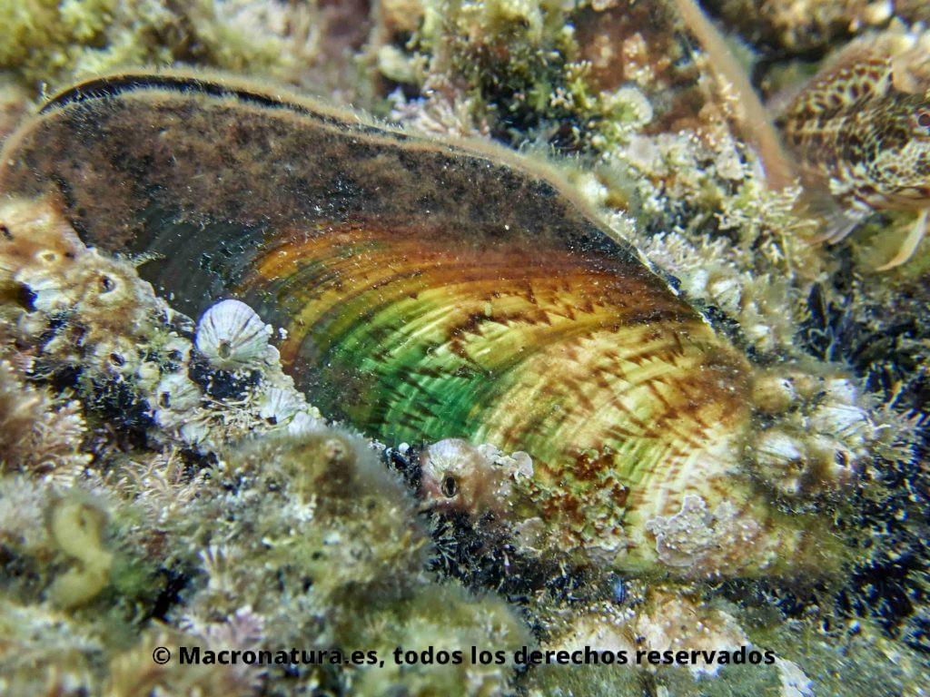 Mejillón en las playas de Málaga. Mejillón forma triangular o de hacha prehistórica. Adherido a la roca por el biso.