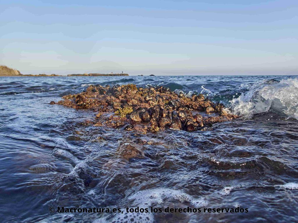 Mejillón en las playas de Málaga. Mejillón de carácter gregario pueden pasar periodos fuera del agua. Gusta zonas inter mareales.