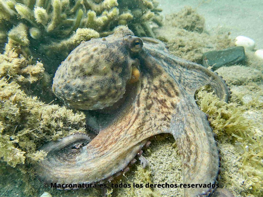 Pulpo Común o de Roca Octopus Vulgaris tratando de esconderse en una roca con algas