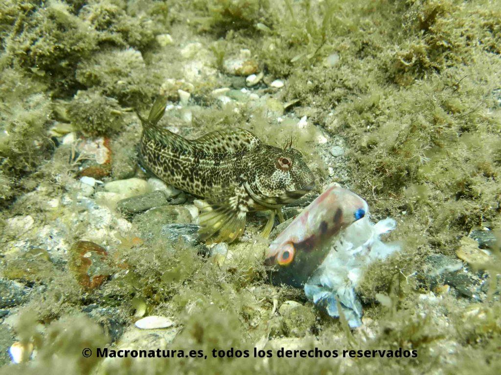 Blenios del Mediterráneo. Parablennius Pilicornis junto a pez doncella (coris julis). junto a un resto de un pez