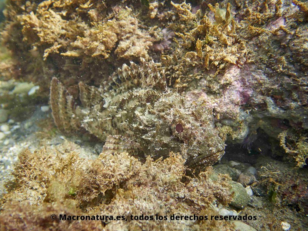 Rascacio Scorpaena porcus mirando la camara lateralmente. Mimetizado con el entorno rocoso y de algas