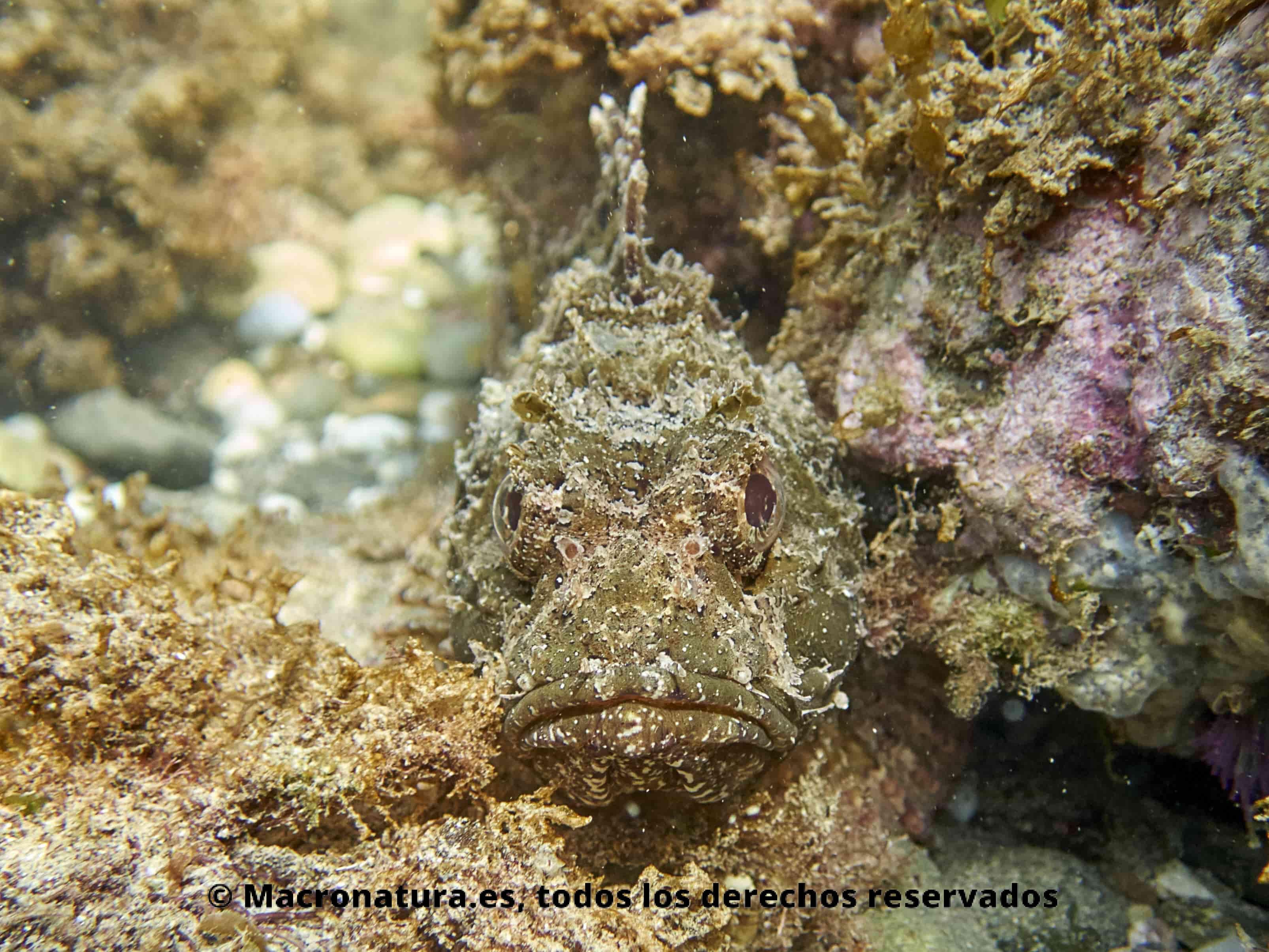 Rascacio Scorpaena porcus mirando a la camara de frente. Mimetizado con el entorno rocoso y de algas