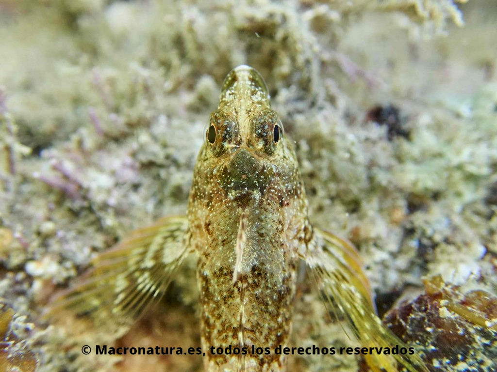 Blenios del Mediterráneo. Tripterygion-tripteronotus. Foto desde arriba donde se aprecian ojos y aletas.