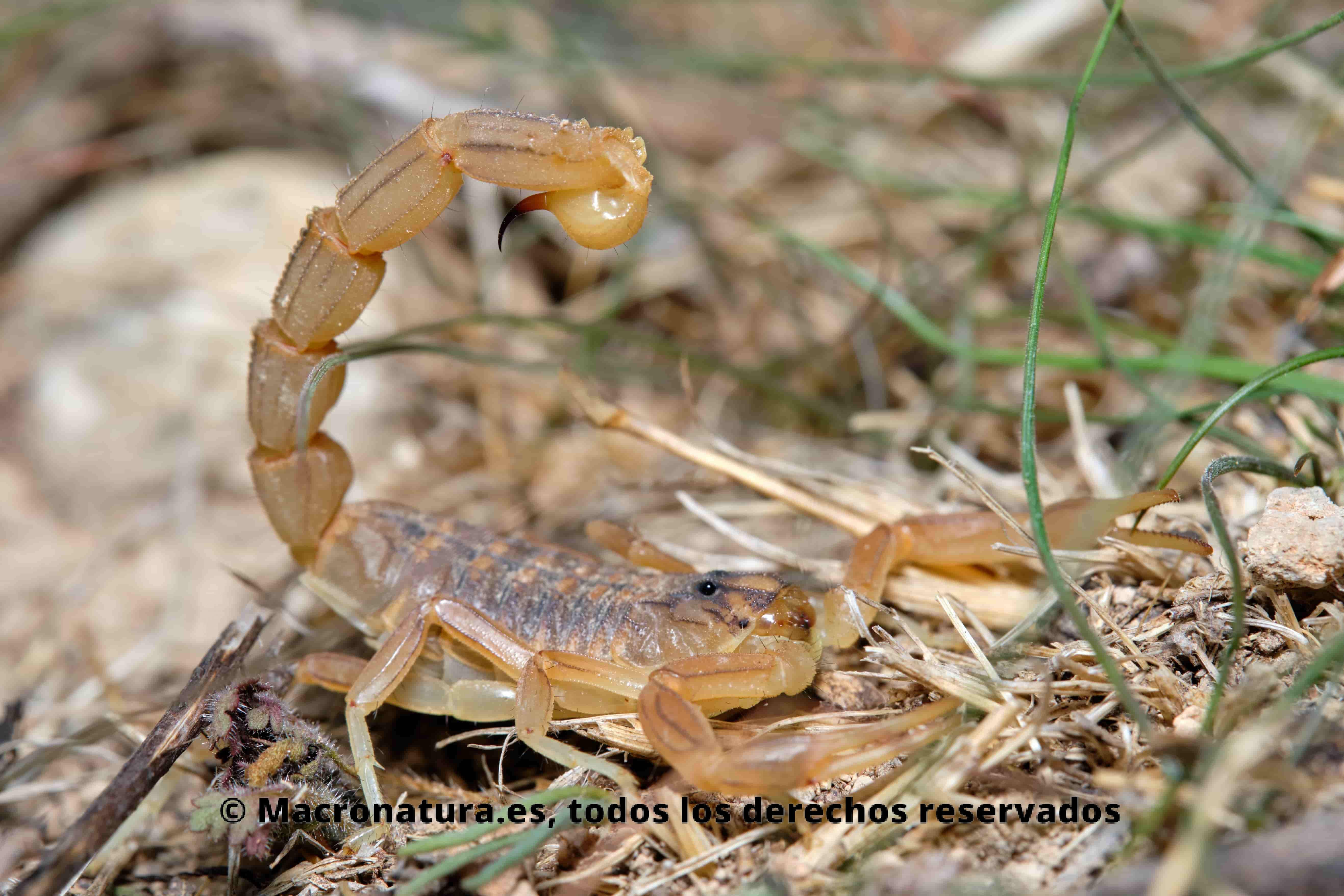 Escorpión amarillo Buthus occitanus en hierba
