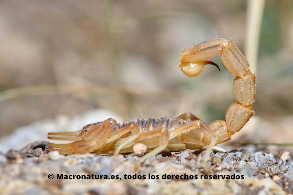 Escorpión amarillo Buthus occitanus lateral aguijón levantado
