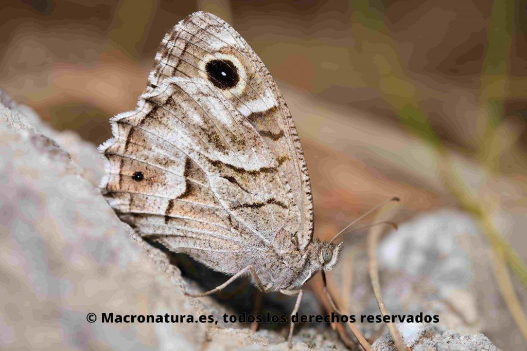 Mariposa Sátiro moreno. Hipparchia statilinus. Lateral junto a una piedra