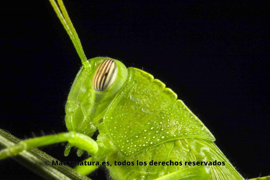 Primer plano Saltamonte Anacridium aegyptium verde ninfa