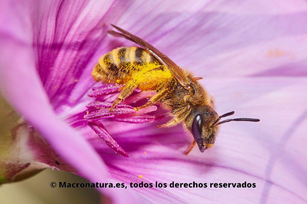Abeja Halictus Scabiosae sobre una flor tompeta morada
