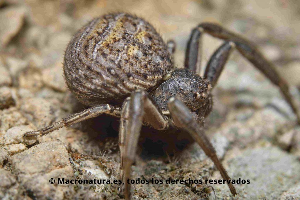 Araña cangrejo del género Xysticus a nivel del suelo, detalle del abdomen