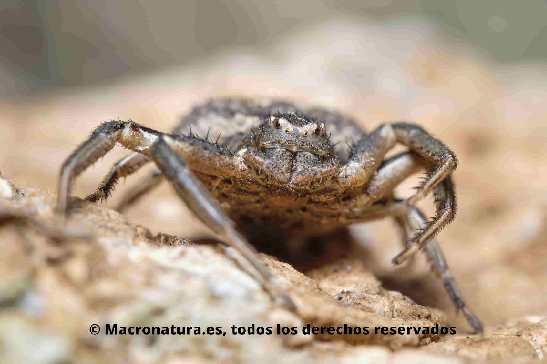 Arañas cangrejo del género Xysticus a nivel del suelo