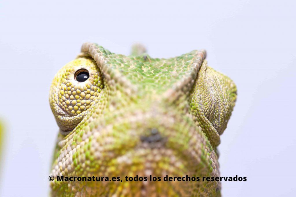 Ojos de Camaleón. Mirando cada uno hacia un lado