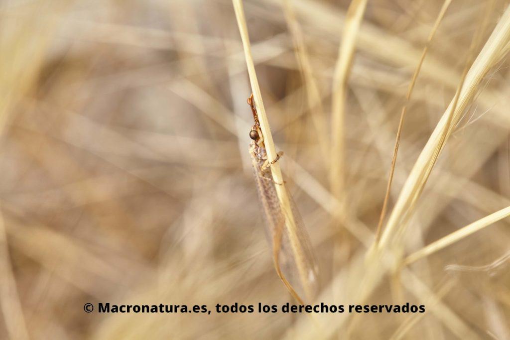 Hormiga León Macronemurus appendiculatus camuflada
