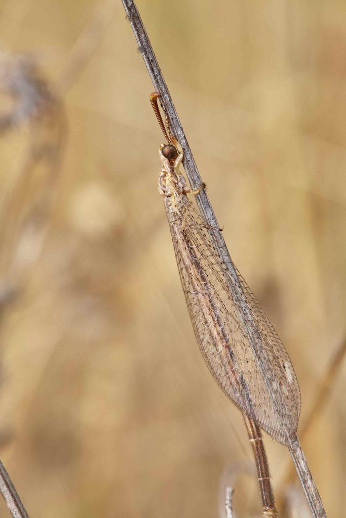Hormiga León Macronemurus appendiculatus alas y cuerpo entero