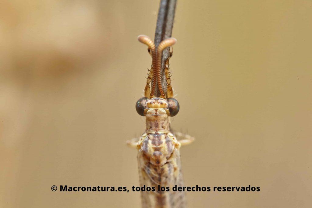 Hormiga León Macronemurus appendiculatus ojos y parte trasera