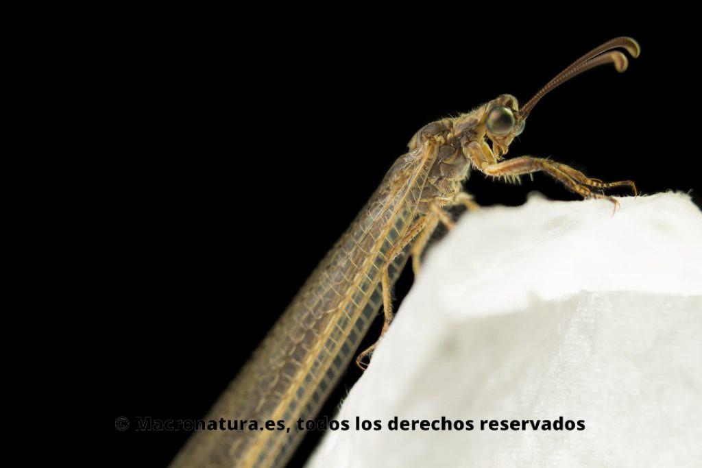 Hormiga León Macronemurus appendiculatus