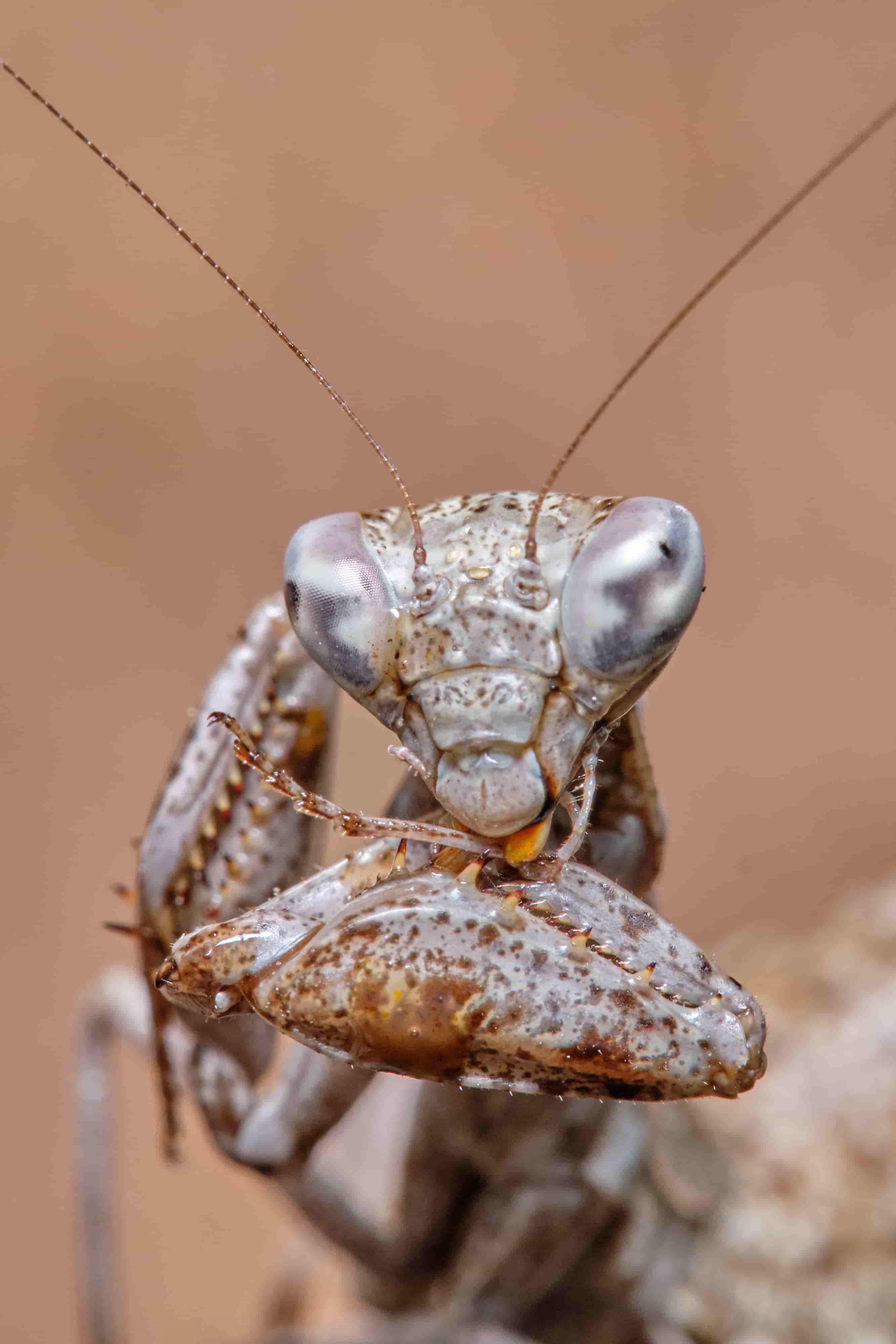 Mantis europea Ameles spallanzania limpiandose parte de la tibia y tarso. Ojos picudos.