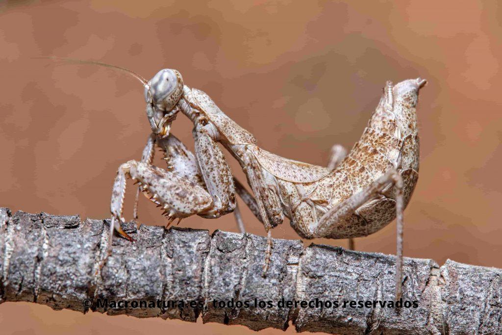 Mantis europea Ameles spallanzania en postura lateral