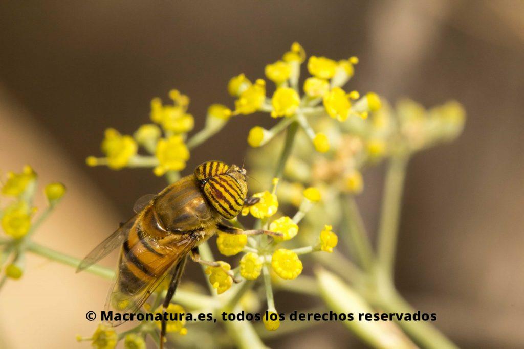 Mosca Eristalinus taeniops. Mosca Tigre sobre una flor de hinojo