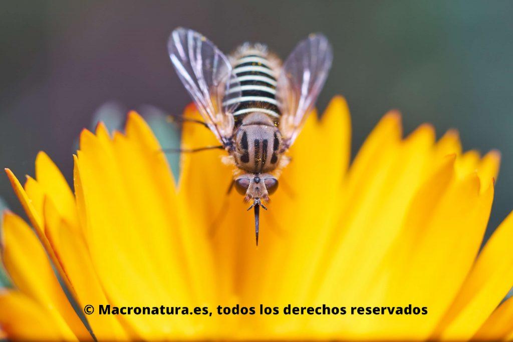 Parageron loewi sobre una flor amarilla