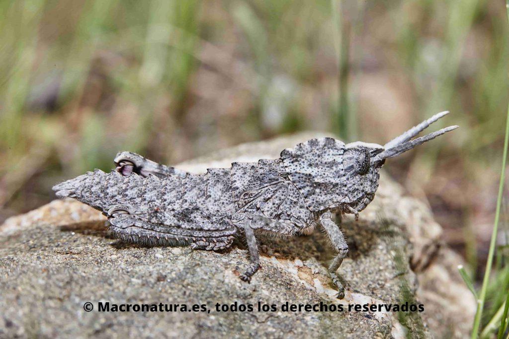 Saltamontes género Eumigus color gris camuflado en el medio natural